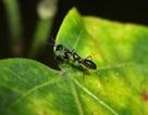 Cận cảnh con vật lạ nửa kiến nửa bọ ngựa ở VN