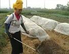 Trồng nấm rơm trực tiếp trên đồng ruộng cho hiệu quả kinh tế cao