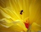 Huấn luyện ong để chuyên phát hiện mìn
