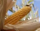 Tây Ban Nha đạt mức kỷ lục về ngô biến đổi gen