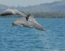 Phát hiện loài cá heo lưng gù mới gần bờ biển Australia