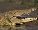 Một công dân Việt Nam bị cá sấu nuốt tại Australia