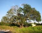 Công nhận cây Xoài 300 tuổi là Cây Di sản Việt Nam