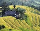 Lộng lẫy mùa vàng ở Hoàng Su Phì