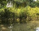 Triều cường đạt đỉnh gây vỡ đê bao, nước ngập trắng vườn mai