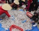 Ngư dân phấn khởi trúng đậm cá cơm