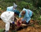 Vụ 8 con bò chết đột ngột: Có thể do một loại chất độc
