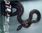 Kinh hãi phát hiện rắn trong ô tô khi xe đang chạy