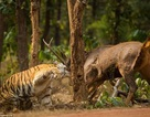 Khoảnh khắc nai chiến đấu ngoan cường để thoát khỏi móng vuốt của hổ