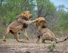 Anh em sư tử đực đại chiến kinh hoàng để tranh giành lãnh thổ