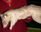 Kinh hãi bé 3 tháng tuổi bị chuột ăn thịt trong lúc mẹ đang đi dự tiệc