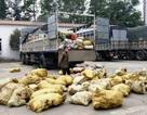 Chặn 1,4 tấn mỡ bẩn, xương, da trâu bò thối trên đường ra Hà Nội tiêu thụ
