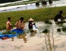 """Đồng ruộng ngập lụt, công an giúp dân """"chạy"""" lúa"""