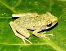 """Hòa Bình: Phát hiện loài ếch mới """"cây sần an-na"""""""