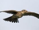 Lượng chim tại châu Âu giảm mạnh do thiếu môi trường sống