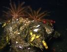 Tìm thấy loài san hô mới ở vùng biển ngoài khơi California