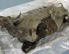 Phát hiện xác ướp bò rừng 9300 năm còn nguyên vẹn dưới lớp băng