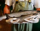 FDA cho phép sử dụng cá hồi biến đổi gen