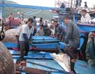 Đề nghị điều tra, làm rõ tàu đã đâm tàu cá Quảng Ngãi