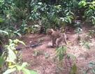 Thả cá thể khỉ đuôi lợn về rừng