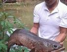 Bắt được cá lóc dài hơn nửa mét, nặng hơn 7kg