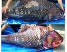 Cặp cá hô nặng 240kg về Sài Gòn phục vụ đại gia