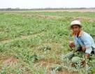 Chuyển đổi cây trồng mùa khô hạn, nhiều nông dân trúng đậm