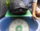 Bắt được cá thể giống rùa nặng gần 9kg