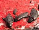"""Vùng biển đỏ rực màu máu trong lễ hội """"trảm"""" cá voi"""
