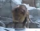 """Sư tử cái ngăn cản """"chúa sơn lâm"""" ăn thịt người chăm sóc"""