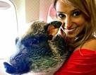 """Khó tin: Gà tây, lợn, ngồi """"chễm chệ"""" trên khoang máy bay"""