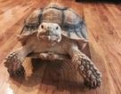 Dắt rùa đi dạo, mỗi tháng kiếm bạc triệu