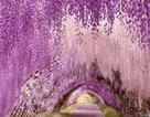Những đường hầm hoa tử đằng đẹp ngất ngây ở Nhật Bản
