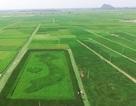 Độc đáo cánh đồng lúa 4 màu hình bản đồ Tổ quốc