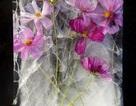 Vẻ đẹp kỳ diệu đến khó tin của những bông hoa... bị đông cứng