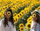 Ngất ngây thiên đường hoa hướng dương bung nở ở Nhật