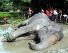 Chú voi được giải cứu vì lũ cuốn trôi cuối cùng đã chết