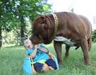 Cặp vợ chồng trẻ để chó pitbull 76kg trông con 3 tháng tuổi