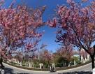 Mê đắm cảnh sắc hoa đào bung nở giữa tiết trời xuân