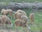 Kiếm trăm triệu mỗi năm nhờ chăn cừu ở chân cầu Vĩnh Tuy