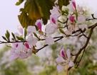 """Điện Biên """"bắt"""" hoa ban nở đúng lễ hội"""