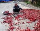 Nông dân cay đắng vì ... cây ớt
