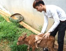 Làng xóm xôn xao vì bò mẹ sinh bê con 7 chân