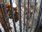 Lùm xum vụ cấp phép cho doanh nghiệp nuôi hổ tại Nghệ An