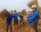 Nghệ An: Thanh niên, bộ đội dầm mình giúp dân gặt lúa sau bão