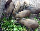 Nhà giàu Hà thành góp tiền nuôi lợn rừng ăn Tết