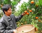 Nghệ An: Cam Xã Đoài đắt hàng dù giá hơn 70.000 đồng một quả
