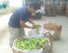 Mua hoa thanh long bán sang Trung Quốc: Lại âm mưu gì?