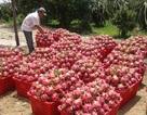Trái cây rớt giá thê thảm: Muốn giá cao phải sang Úc, Mỹ, Nhật