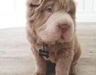 Ngắm cún con đáng yêu giống hệt gấu teddy